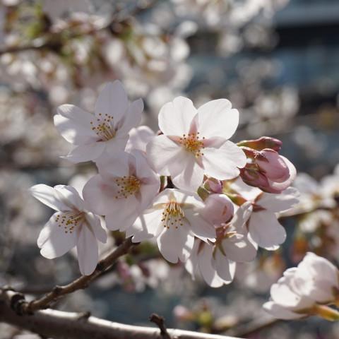 Main image ofCerisiers en fleurs au Japon en famille