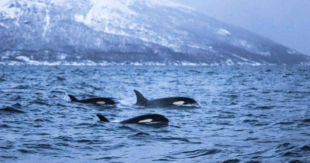 Main image ofNager avec les orques en Norvège - Séjour écoparticipatif